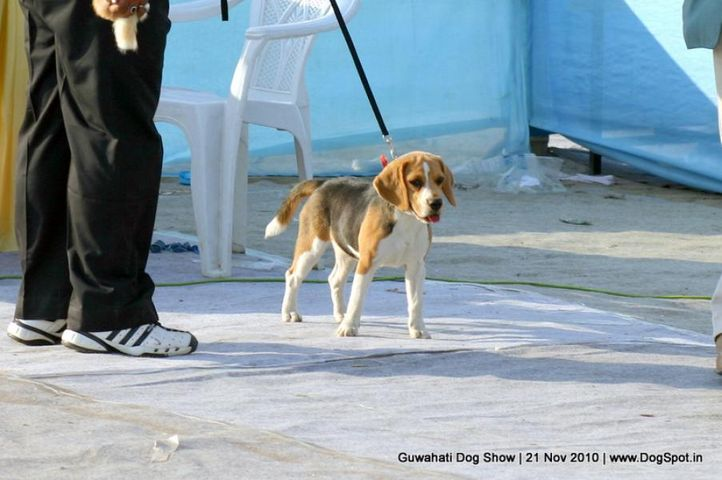 beagle,ex-22,sw-9,, SEARCH IN GAME, Beagle, DogSpot.in
