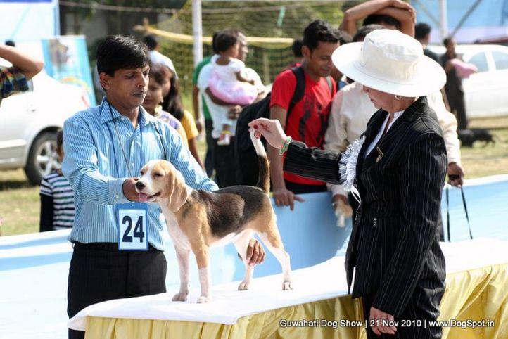 beagle,ex-24,judges,sw-9,, MISTI, Beagle, DogSpot.in