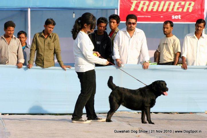 labrador,sw-9,, Guwahati Dog Show, DogSpot.in