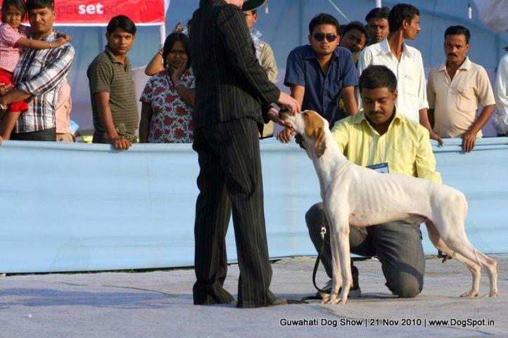 pointer,sw-9,, Guwahati Dog Show, DogSpot.in