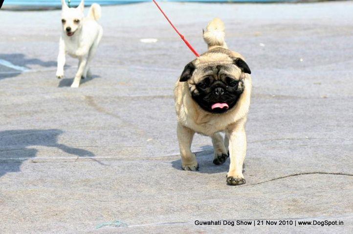 pug,sw-9,, Guwahati Dog Show, DogSpot.in