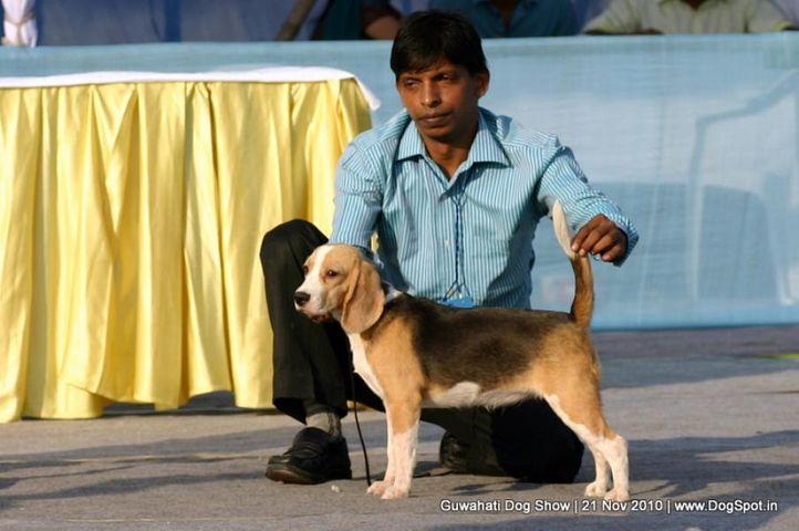 beagle,ex-24,sw-9,, MISTI, Beagle, DogSpot.in