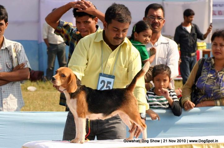 beagle,ex-25,sw-9,, BLUE BELL'S TIN TIN, Beagle, DogSpot.in