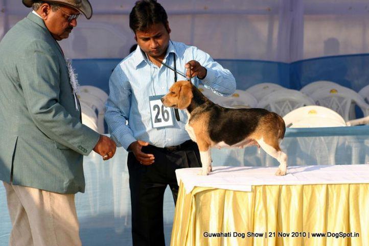 beagle,ex-26,sw-9,, ABBIE, OF, NIKOL'S, Beagle, DogSpot.in