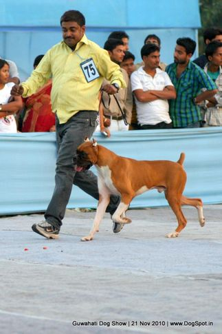 boxer,ex-75,sw-9,, JIT'S RED POWDER, Boxer, DogSpot.in