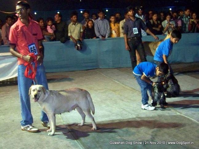 child,ex-66,sw-9,, CASSANDRA'S HEENA, Labrador Retriever, DogSpot.in