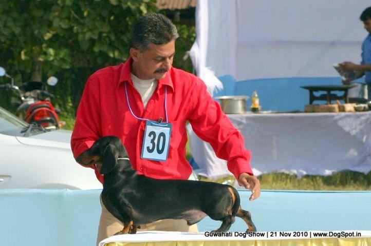 dachshund,ex-30,sw-9,, RIGHTWAY'S BEAR BOY, Dachshund Standard- Smooth Haired, DogSpot.in
