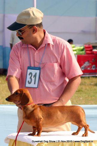 dachshund,ex-31,sw-9,, TOSSY, Dachshund Standard- Smooth Haired, DogSpot.in