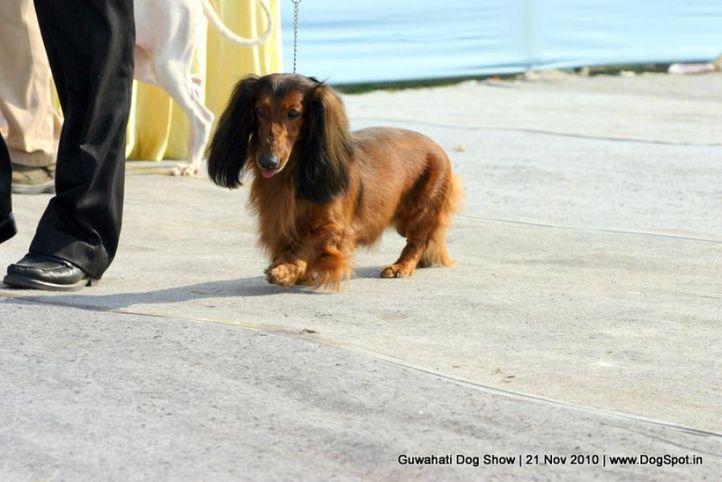 dachshund,ex-28,sw-9,, KELLER, Dachshund Standard- Long Haired, DogSpot.in