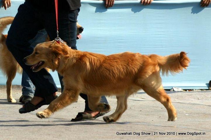 ex-42,golden,sw-9,, BESSIE'S GOLDEN BOY, Golden Retriever, DogSpot.in