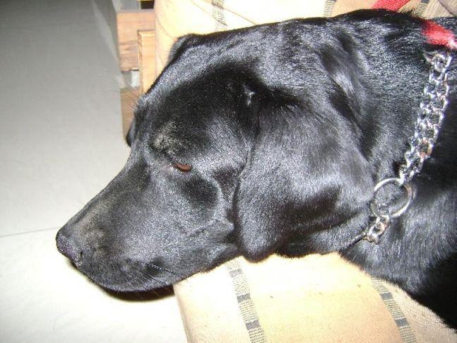 , Hansie the Lab, DogSpot.in