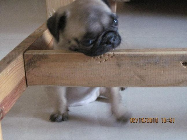 ,  UKA (The naughty  pug), DogSpot.in