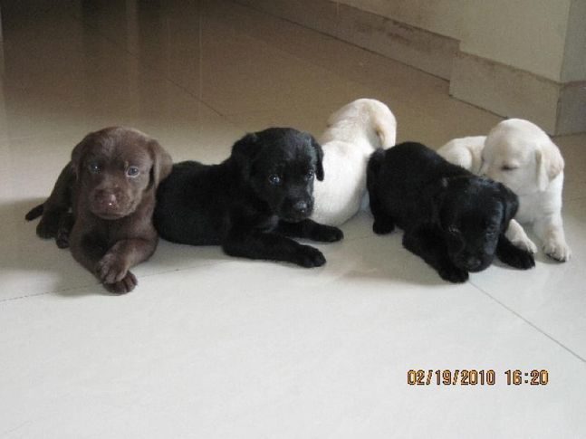 , new born Labs, DogSpot.in