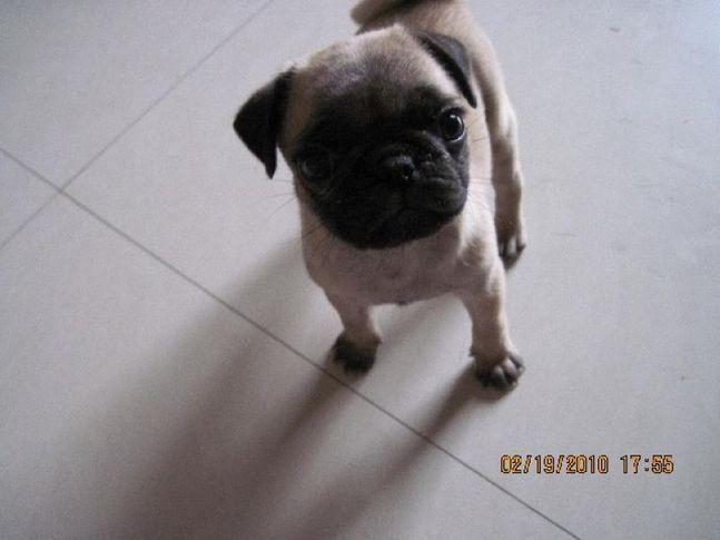 ,  UKA( the unusual pug), DogSpot.in