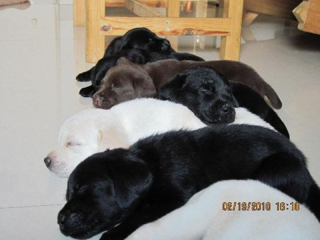 , hansie and uka(Lab and pug), DogSpot.in