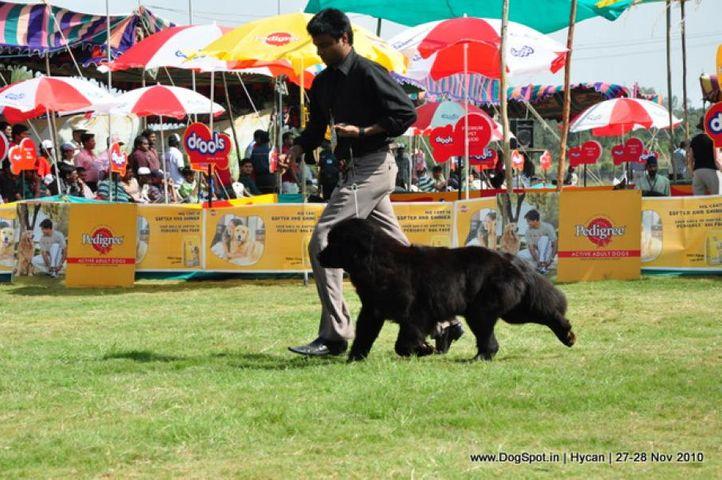 newfoundland,, Hycan 2010, DogSpot.in