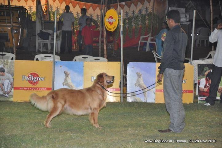 golden,, Hycan 2010, DogSpot.in