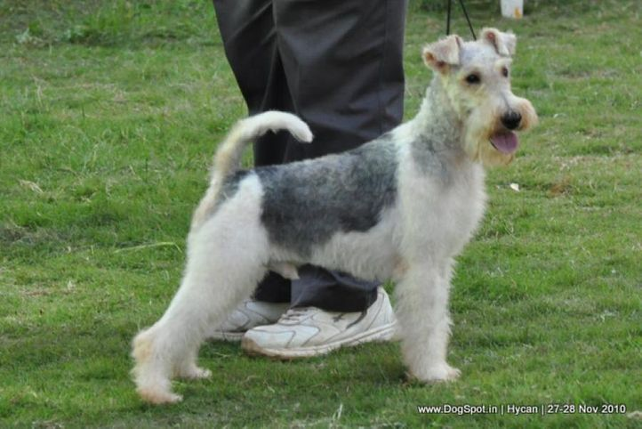 fox terrier,, Hycan 2010, DogSpot.in