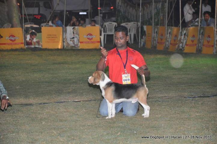 beagle,, Hycan 2010, DogSpot.in