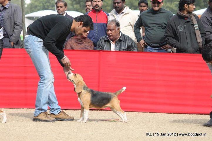 beagle,, IKL Delhi 2012, DogSpot.in