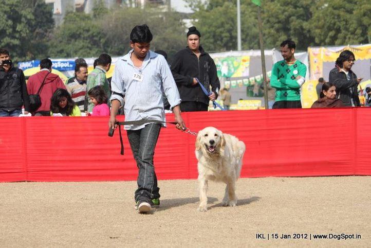 golden retriever,, IKL Delhi 2012, DogSpot.in