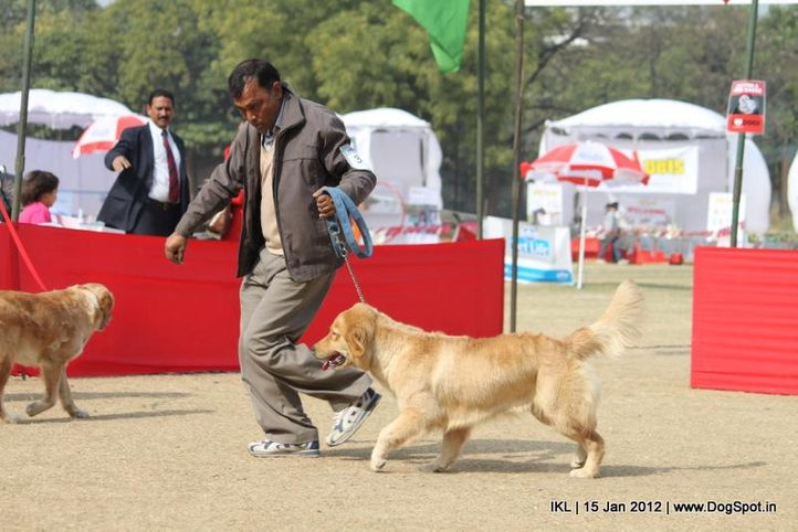 golden retriever,, IKL Delhi 2012, DogSpot.in