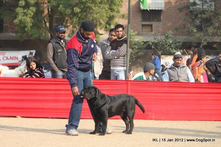 labrador,, IKL Delhi 2012, DogSpot.in