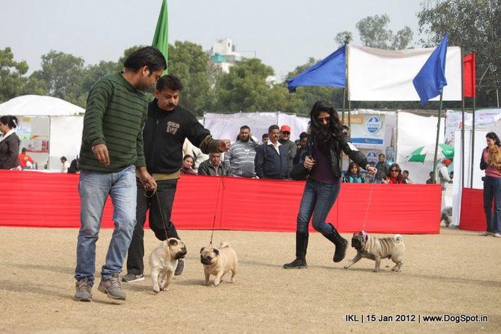pug,, IKL Delhi 2012, DogSpot.in