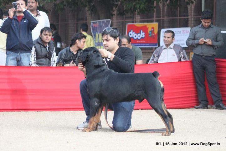 rottweiler,, IKL Delhi 2012, DogSpot.in