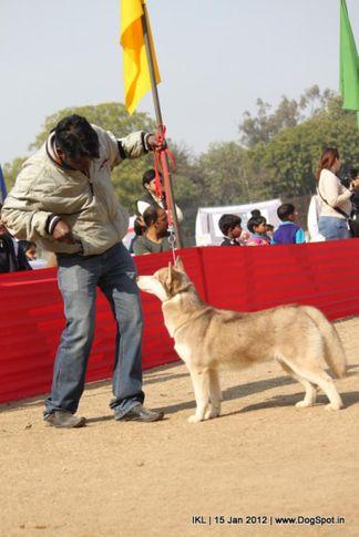 siberian,, IKL Delhi 2012, DogSpot.in