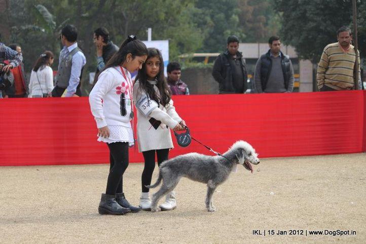 bedlington terrier,, IKL Delhi 2012, DogSpot.in