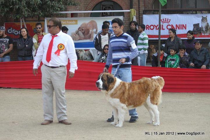 st bernard,, IKL Delhi 2012, DogSpot.in