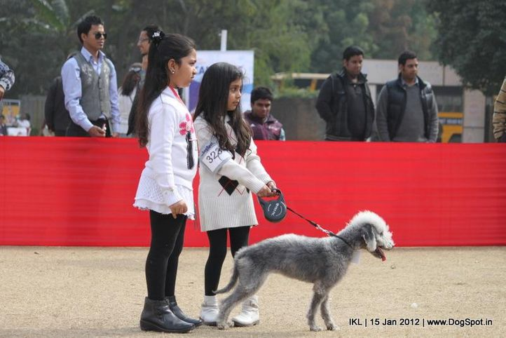 bedlington terrier,, IKL Delhi 2012, DogSpot.in
