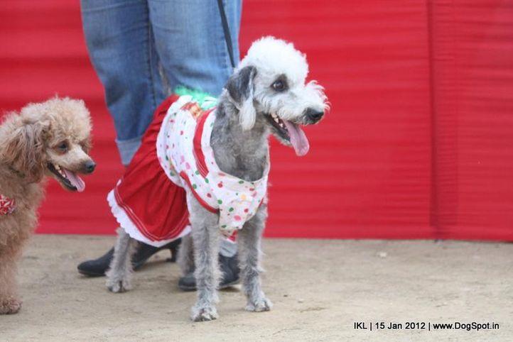 bedlington terrier,fancy dress,, IKL Delhi 2012, DogSpot.in