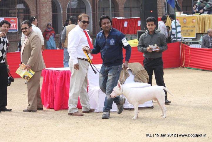 bull terrier,, IKL Delhi 2012, DogSpot.in