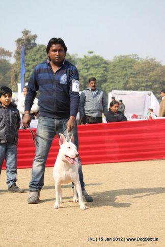 bull terrier,terrier,, IKL Delhi 2012, DogSpot.in