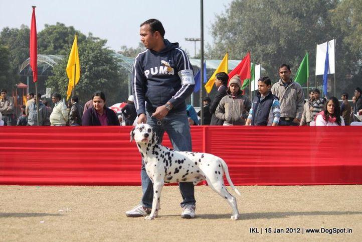dalmatian,, IKL Delhi 2012, DogSpot.in