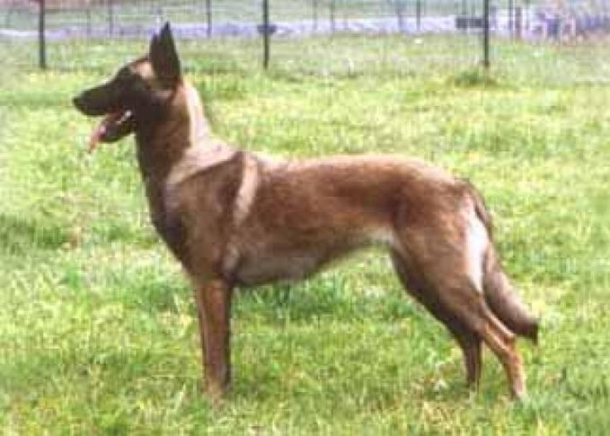 ILLUSTRATED STANDARDS OF GERMAN SHEPHERD DOG BREED LINES, ILLUSTRATED STANDARDS OF GERMAN SHEPHERD DOG BREED LINES, DogSpot.in