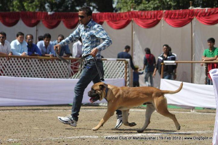 bull mastiff,sw-54,, Jabalpur 2012, DogSpot.in