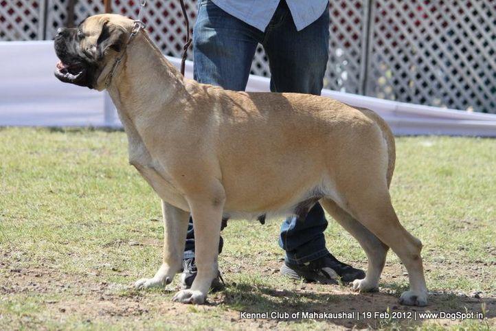 bull mastiff,ex-102,sw-54,, THEROGUARD'S OLIVIA, Bullmastiff, DogSpot.in