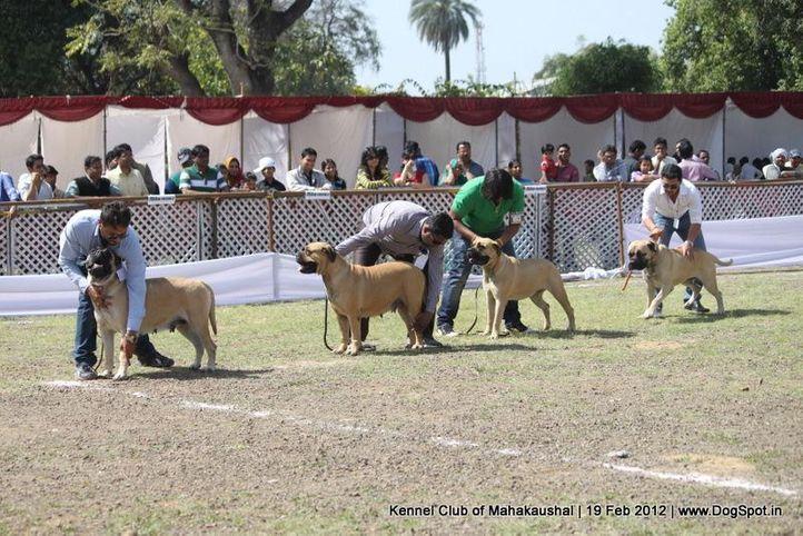 bullmastiff,sw-54,, Jabalpur 2012, DogSpot.in