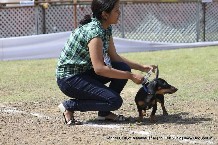 dachshund,ex-35,sw-54,, DOLLY, Dachshund Miniature- Smooth Haired, DogSpot.in