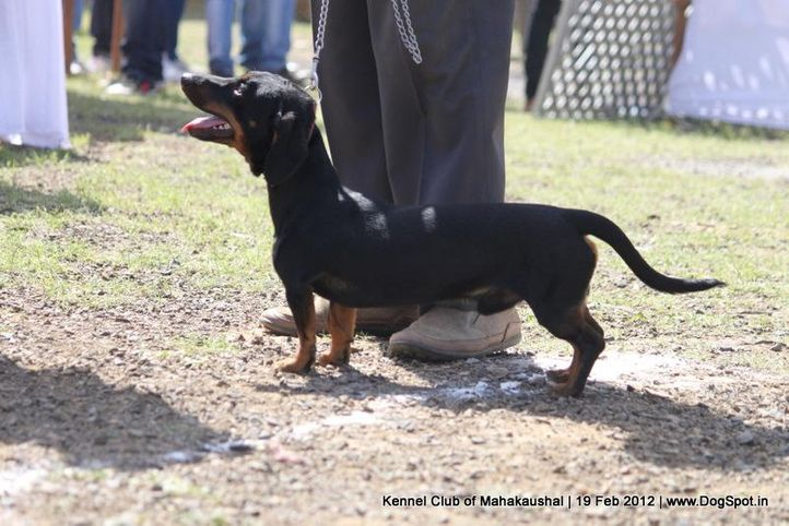 dachshund,ex-34,sw-54,, ROCKY, Dachshund Miniature- Smooth Haired, DogSpot.in