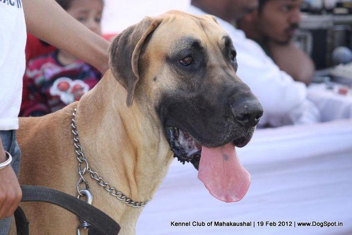 great dane,sw-54,, Jabalpur 2012, DogSpot.in