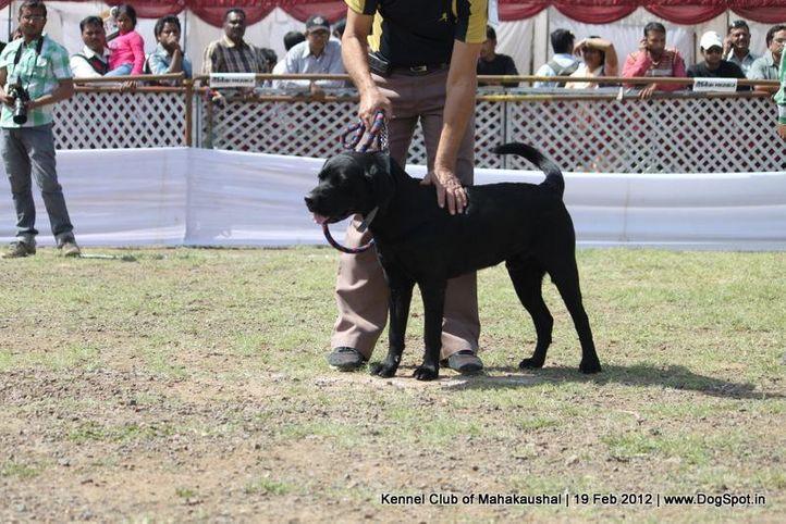 labrador,sw-54,, Jabalpur 2012, DogSpot.in