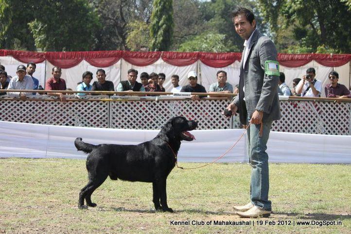ex-219,labrador,sw-54,, Jabalpur 2012, DogSpot.in