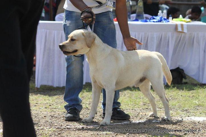 ex-62,labrador,sw-54,, BHOGADIS ZIMRO, Labrador Retriever, DogSpot.in