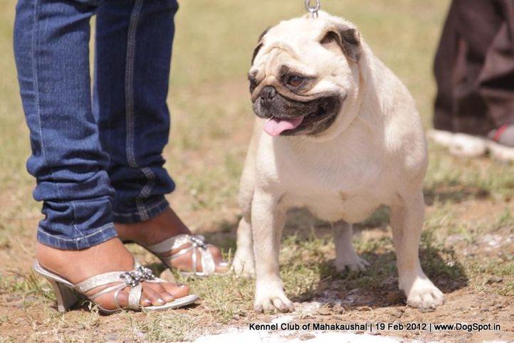 pug,sw-54,, Jabalpur 2012, DogSpot.in