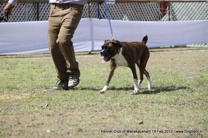 boxer,sw-54,, Jabalpur 2012, DogSpot.in