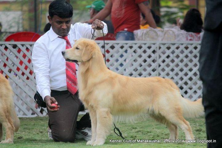 golden retriver,sw-127,, Jabalpur Dog Show 2 Nov 2014, DogSpot.in